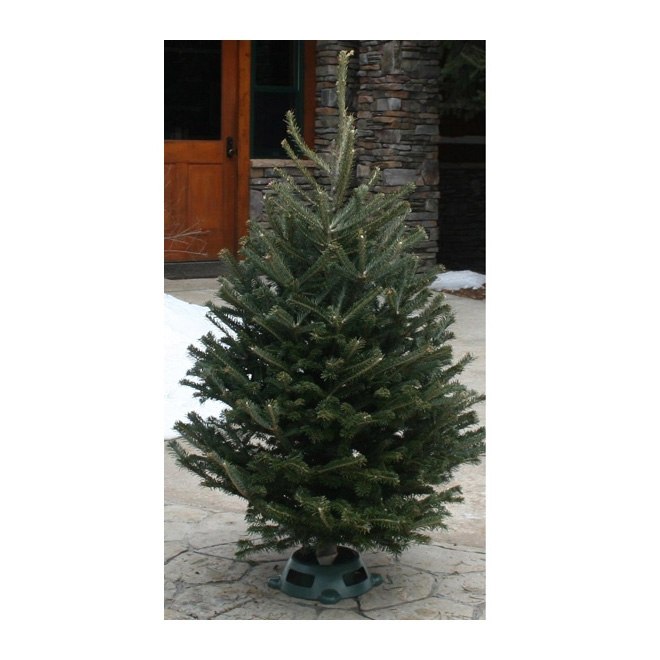"""Elf"" Balsam or Fraser Fir"