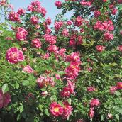 Hardy Rose Bushes