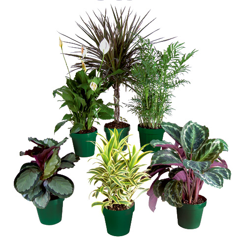 premium tropical plants - Tropical House Plants