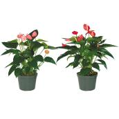 Plants - Anthurium
