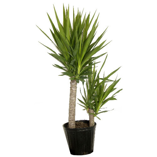 Plants yucca cane shrub rona for Plante interieur