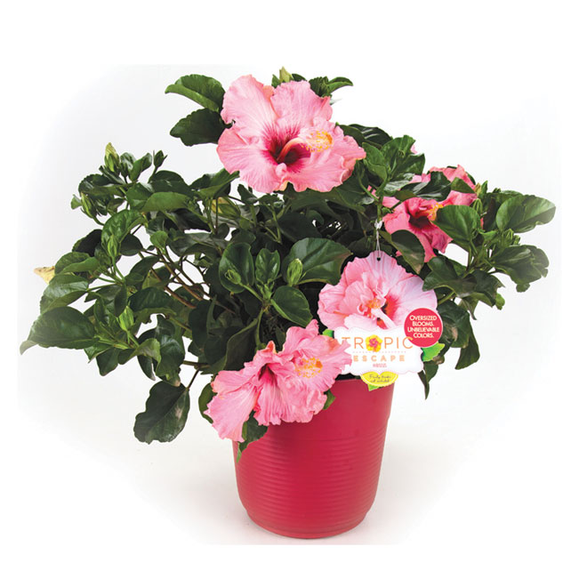 Hibiscus en buisson «Tropic escape»