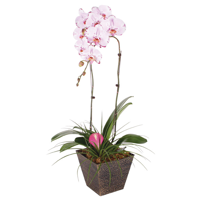 """Bromelia"" Orchid"