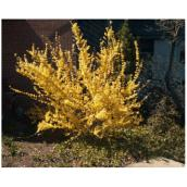 Assorted Forsythia