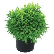 Assorted Buxus