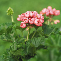 Resistant and fast growing, this pelargonium has large round flower heads.