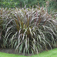 This annual grass with purple foliage thrives in a rich, well-drained soil.