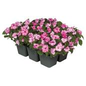 Annuals - 6-Pack