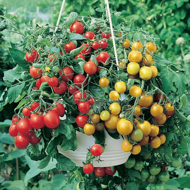 tomates cerises en panier suspendu 12 rona. Black Bedroom Furniture Sets. Home Design Ideas