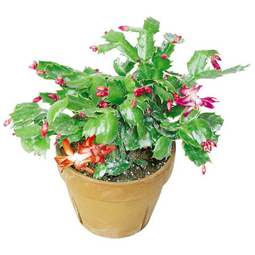 4 in potted christmas cactus rona for Pot mural exterieur