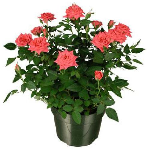 Mini rose bush rona - Planter des roses tremieres ...
