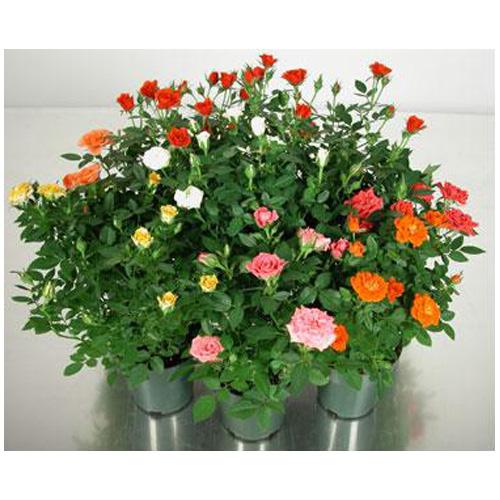 mini rose bush rona