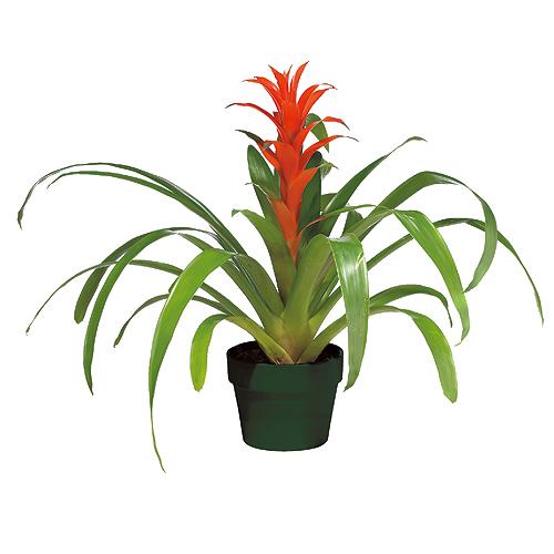plantes bromelia rona