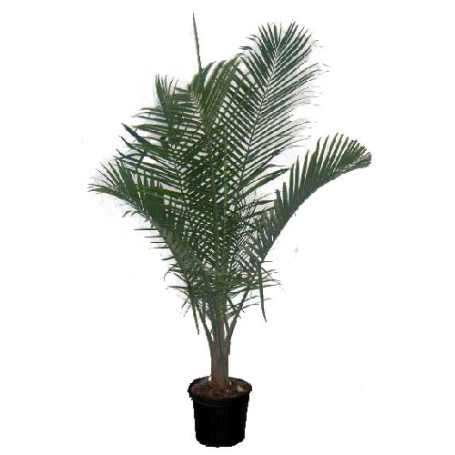Majesty palm tree rona for Pot mural exterieur