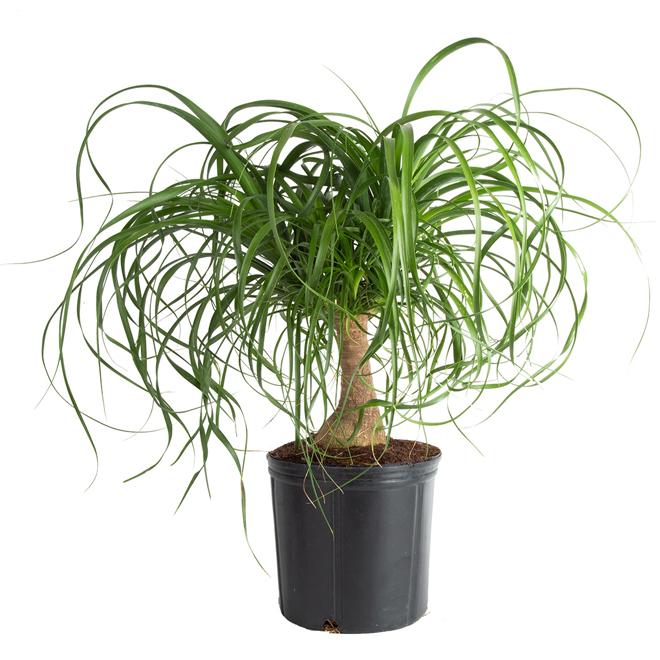 Plantes palmier pied d 39 l phant rona - Plante verte appelee pied d elephant ...