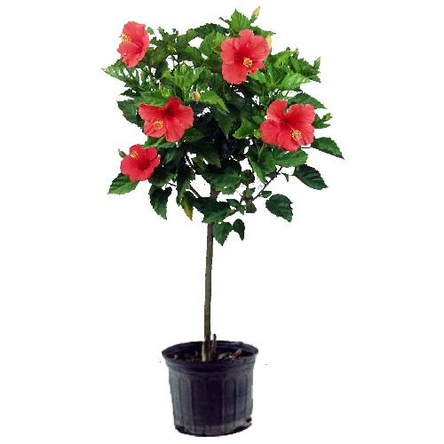 standard hibiscus rona