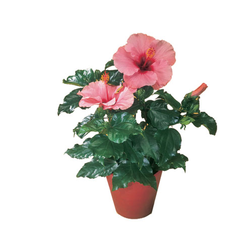 "Hibiscus ""China Rose"""