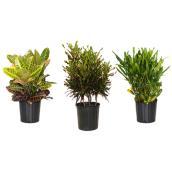 ficus burgandy rubber plant rona