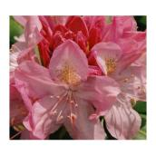 Assorted Rhododendron